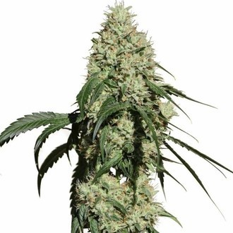 Nagual (NG-1) (Medical Marijuana Genetics) Feminized