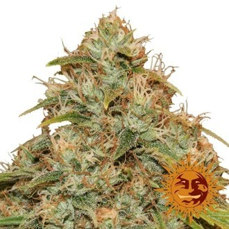 CBD Lemon Potion Auto (Barney's Farm) Feminized