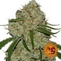 Phantom OG (Barney's Farm) feminized