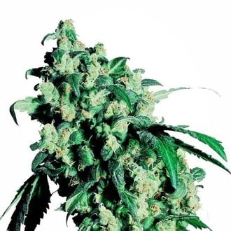 Super Skunk (Sensi Seeds) feminized