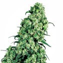 Skunk 1 (Sensi Seeds) feminized