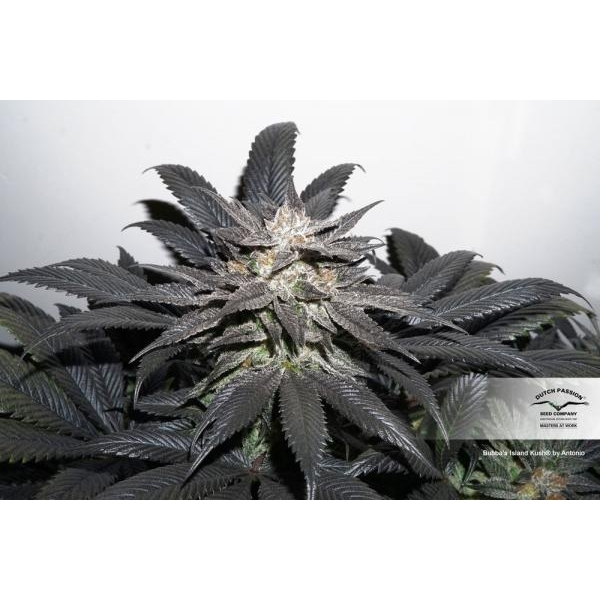 Bubba Island Kush (Dutch Passion) Feminized