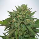 Instakush (Ministry of Cannabis) feminisiert