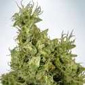 Mandarin Haze (Ministry Of Cannabis) Femminizzata