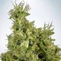 Mandarin Haze (Ministry Of Cannabis) feminisiert