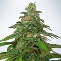 Auto Mandarin Haze (Ministry Of Cannabis) Femminizzata