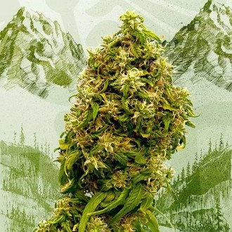 Swiss Dream CBD (Kannabia) feminisiert