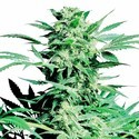 Shiva Skunk (Sensi Seeds) feminized