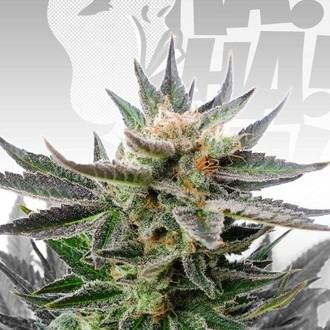 Sativa Dream (Kannabia) Feminized