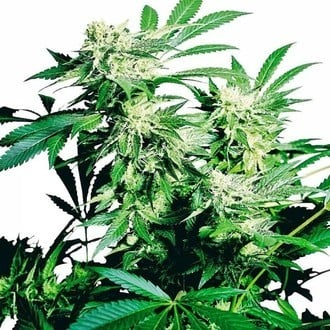 Skunk Kush (Sensi Seeds) feminized