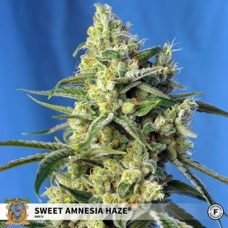 Sweet Amnesia Haze (Sweet Seeds) feminized