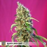 Black Jack CBD (Sweet Seeds) feminized