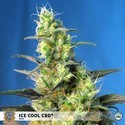 Ice Cool CBD (Sweet Seeds) feminized