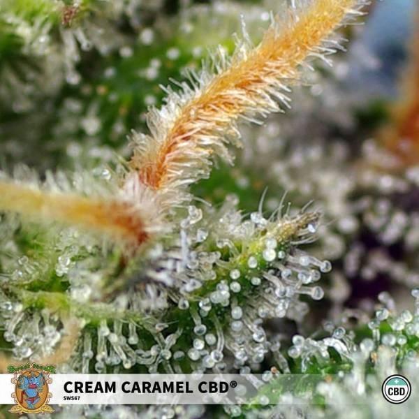 Cream Caramel CBD feminisiert (Sweet Seeds) - Zamnesia