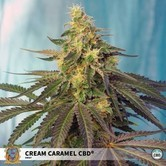 Cream Caramel CBD (Sweet Seeds) feminized