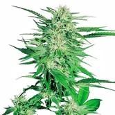 Big Bud (Sensi Seeds) femminizzata