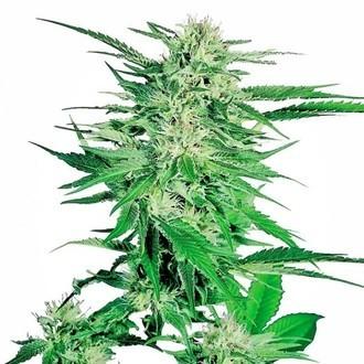 Big Bud (Sensi Seeds) feminisiert