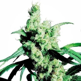 Silver Haze (Sensi Seeds) feminized