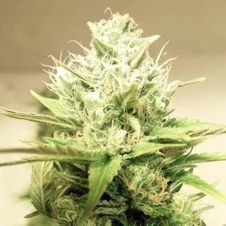 Blue Cheddar 1 (BSB Genetics) Femminizzata