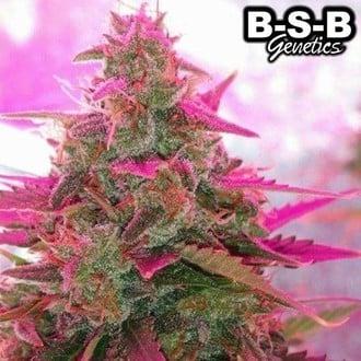 Auto Sweet Tooth (BSB Genetics) feminisiert