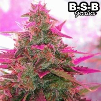 Auto Sweet Tooth (BSB Genetics) feminized