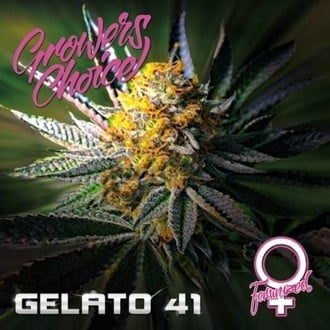 Gelato 41 (Growers Choice) feminisiert
