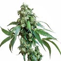 Jack Flash 5 (Sensi Seeds) feminisiert