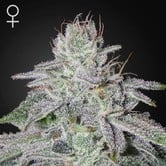 Franco's Lemon Cheese (Greenhouse Seeds) feminized