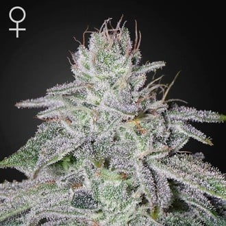 Franco's Lemon Cheese (Greenhouse Seeds) Femminizzata