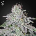 Franco's Lemon Cheese (Greenhouse Seeds) feminisiert