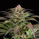 Purps 1 (Dinafem) feminized