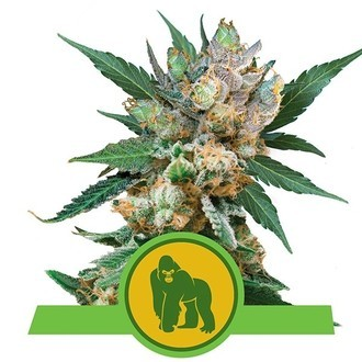 Royal Gorilla Automatic (Royal Queen Seeds) Femminizzata
