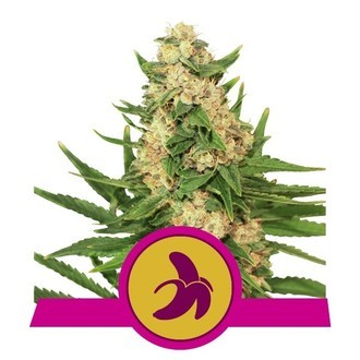 Fat Banana (Royal Queen Seeds) Femminizzata