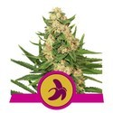 Fat Banana (Royal Queen Seeds) feminisiert