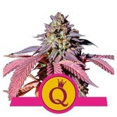 Purple Queen (Royal Queen Seeds) femminizzata