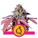 Purple Queen (Royal Queen Seeds) feminisiert