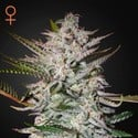 Holy Punch (Greenhouse Seeds) feminisiert