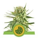 Royal Cookies Automatic (Royal Queen Seeds) Femminizzata