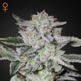 Sweet Valley Kush (Greenhouse Seeds) feminisiert