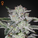 Sweet Valley Kush (Greenhouse Seeds) femminizzata