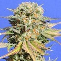 Bruce Banner 3 (Original Sensible Seeds) feminized