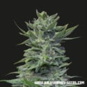 Lavanda Cream (Kalashnikov Seeds) feminized