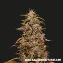 Big Altai Sativa Express (Kalashnikov Seeds) Femminizzata