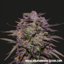 Purple Russian Express (Kalashnikov Seeds) Femminizzata