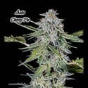 Auto Cherry Pie (GeneSeeds) feminized