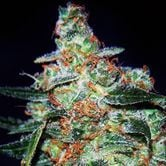 Cheese Auto (Expert Seeds) feminized