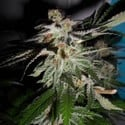 LA Fire (Pheno Finder) feminized