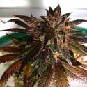 Purple Strawberry Bliss S1 (Pheno Finder) feminized