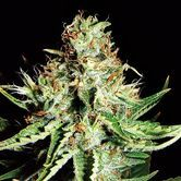 Sweet Cream Auto (Expert Seeds) Feminized