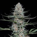 Quick Critical+ (Dinafem) feminized